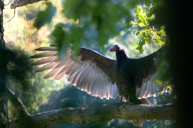 TurkeyVulture_crp.jpg