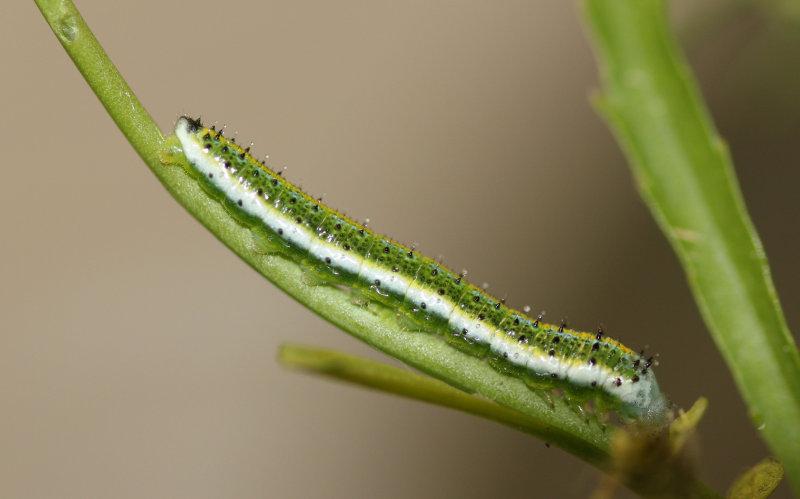 Falcate Orangetip Caterpillar