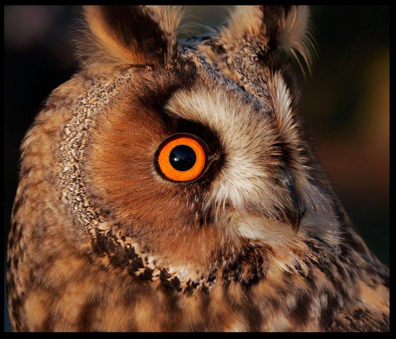 Long-eared Owl - Ottenby Sweden 2005