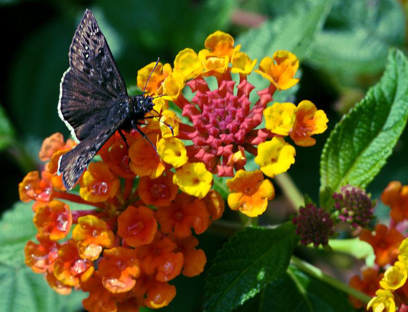 DSC_3349 Blackie sucks Nectar RGB.jpg