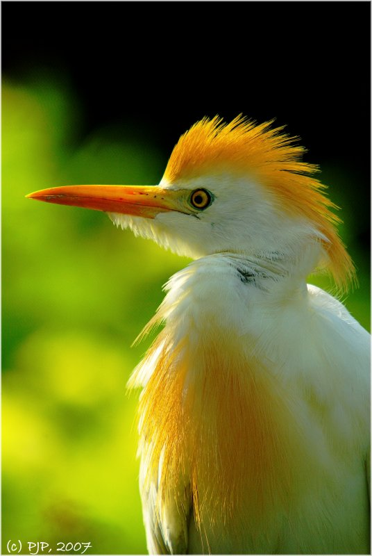 Cattle Egret Profile...