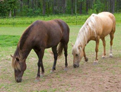 zP1000823 Horses near West Glacier Montana.jpg