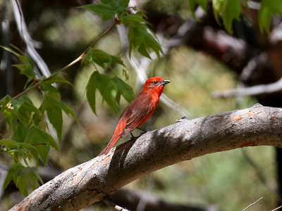 IMG_5761 Hepatic Tanager.jpg