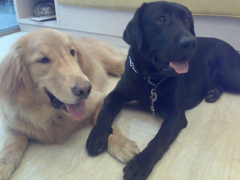 Golden A-King and Labrador Retriever Moca