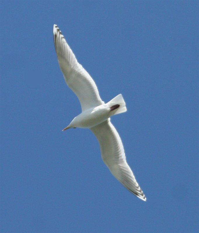 Thayers Gull