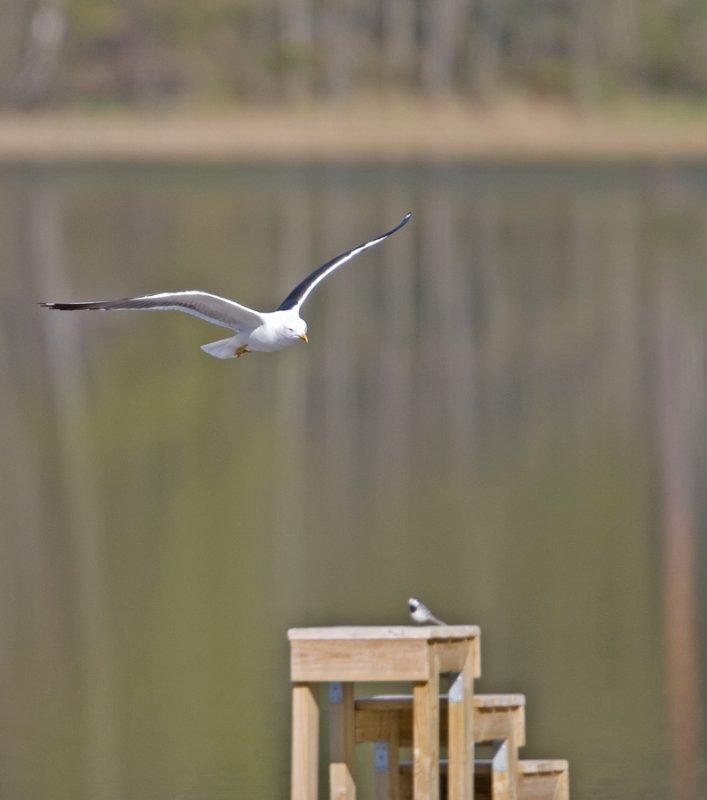 Silltrut (Lesser Black-backed Gull)