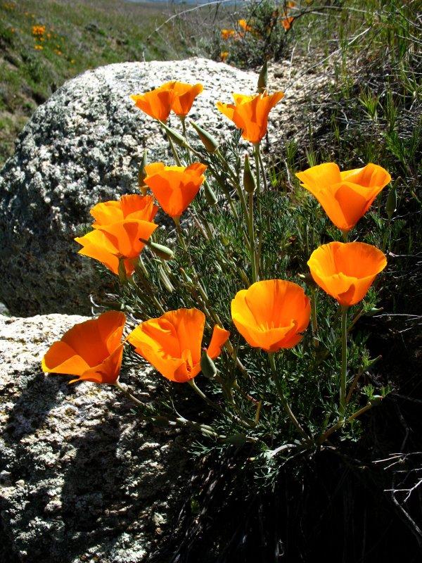 poppies in the rock.jpg