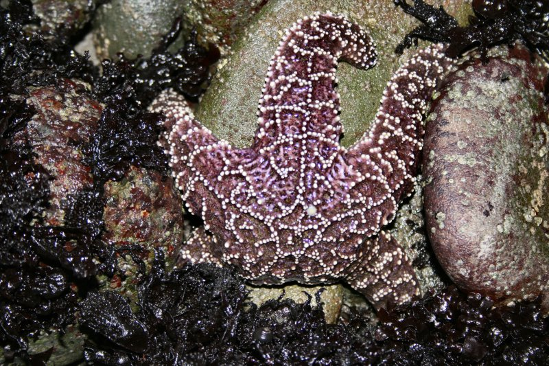purple starfish.jpg