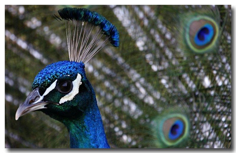 Peacock attack