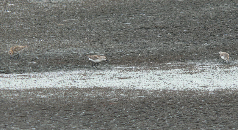 Bairds, Western, & Semipalmated Sandpipers