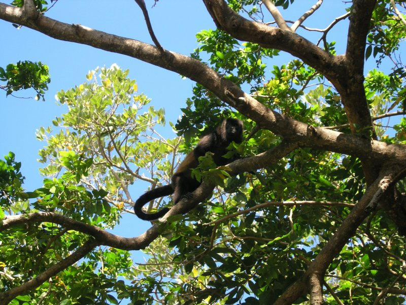and the howler monkeys easy to see.....