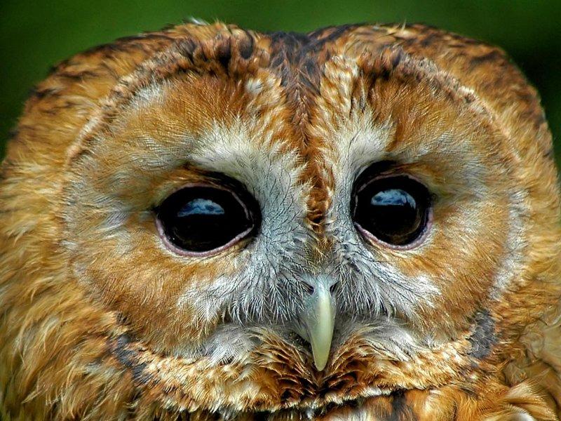 Tawny owl again, Bossington