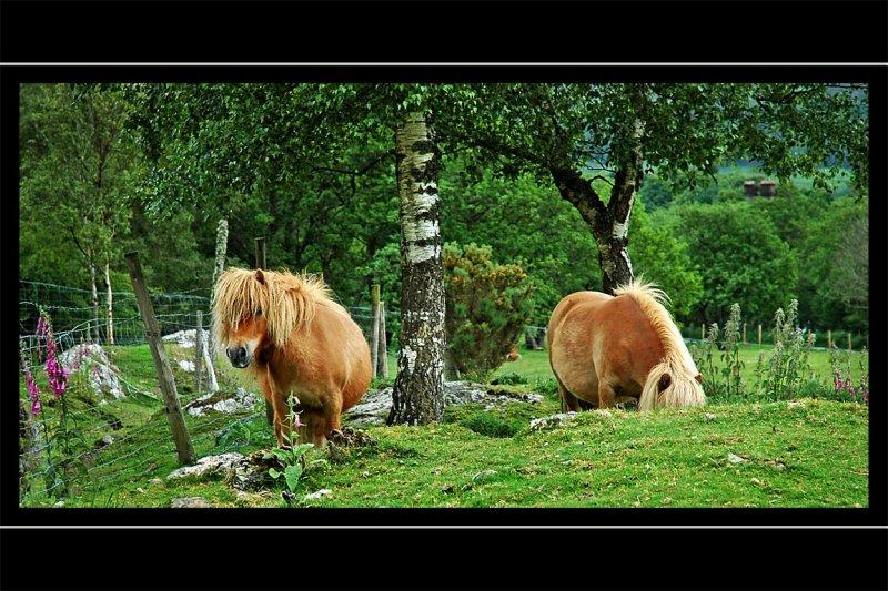 Shetland ponies, Fort Augustus