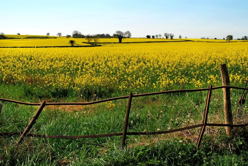 Canola field and railings, near Frome