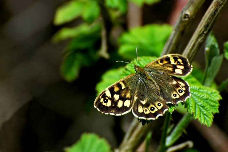 The speckled wood