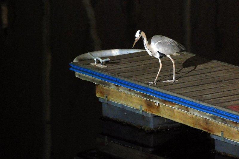 Heron night fishing