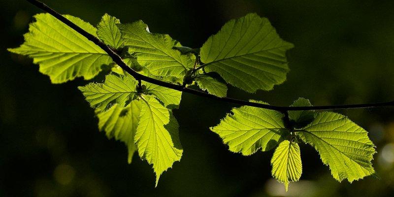 Backlit leaves, Wayford Woods