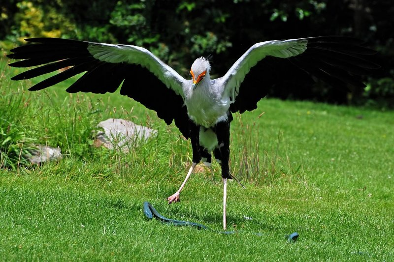 Secretary bird and prey