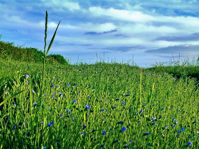 Blue flowers, near Dittisham