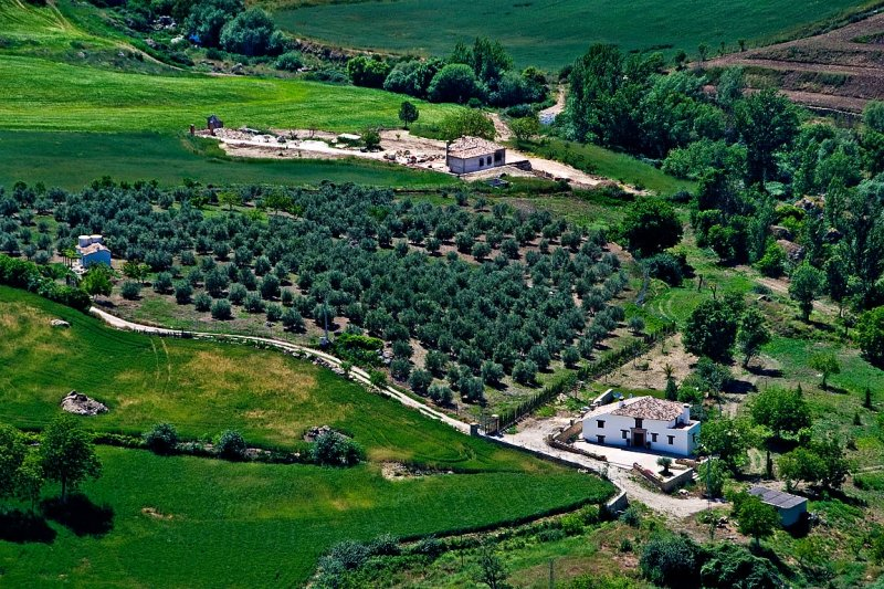 White house and olive trees. Ronda