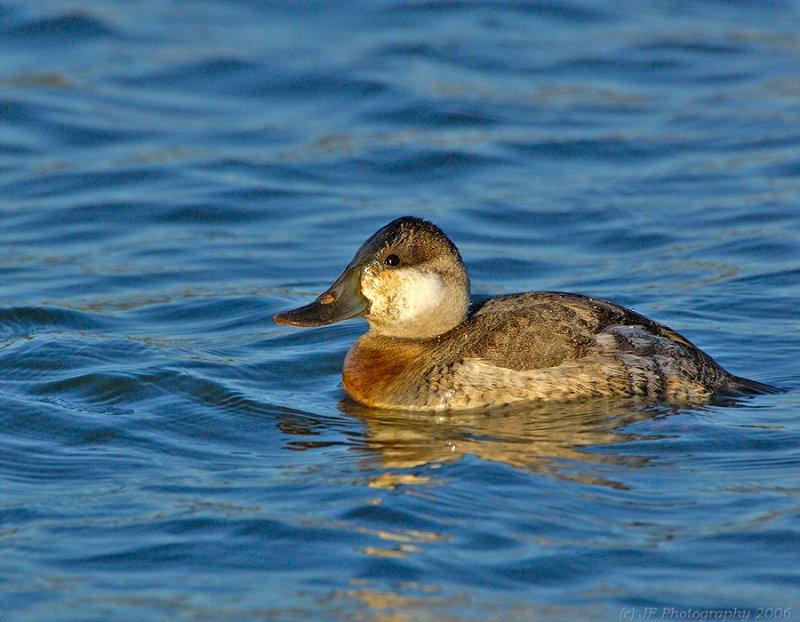 Ruddy Duck Mail at Sunset.jpg