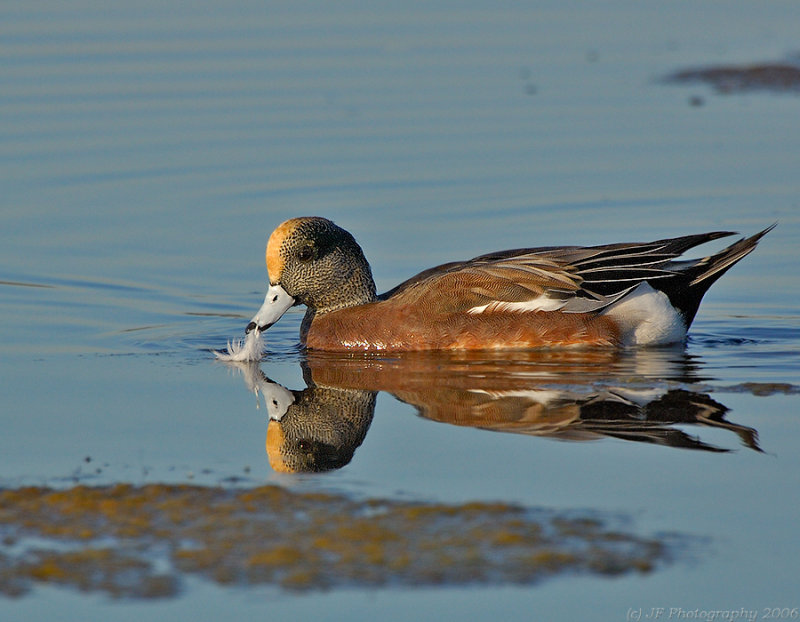 _JFF1914 American Widgeon Male With Feather.jpg