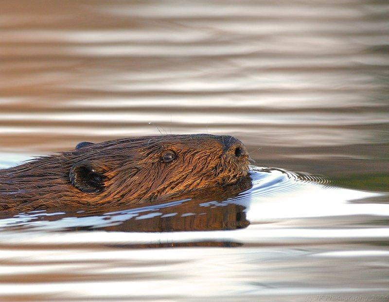 _JFF1188 Beaver SR.jpg