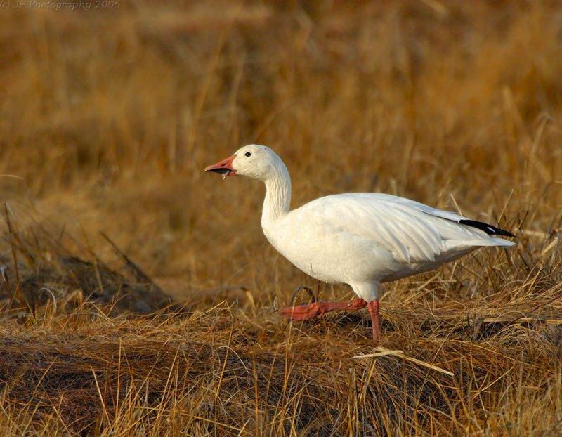 _JFF4367 Snow Goose  in Fall marsh
