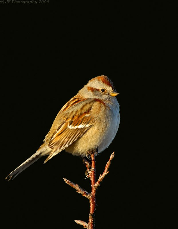 _JFF4759 American Tree Sparrow.jpg