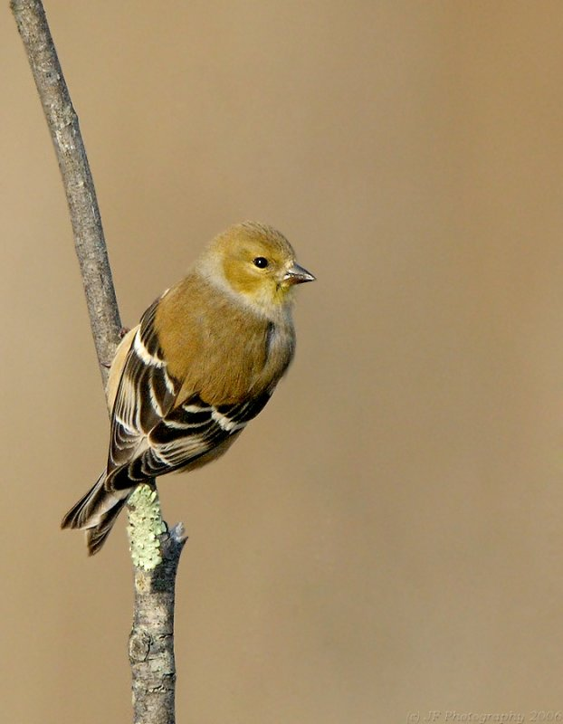 _JFF4811Goldfinch in Winter Colors