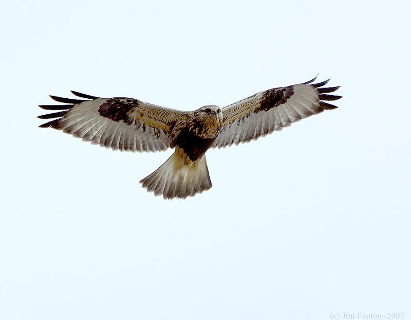_JFF6481Rough Legged Hawk.jpg