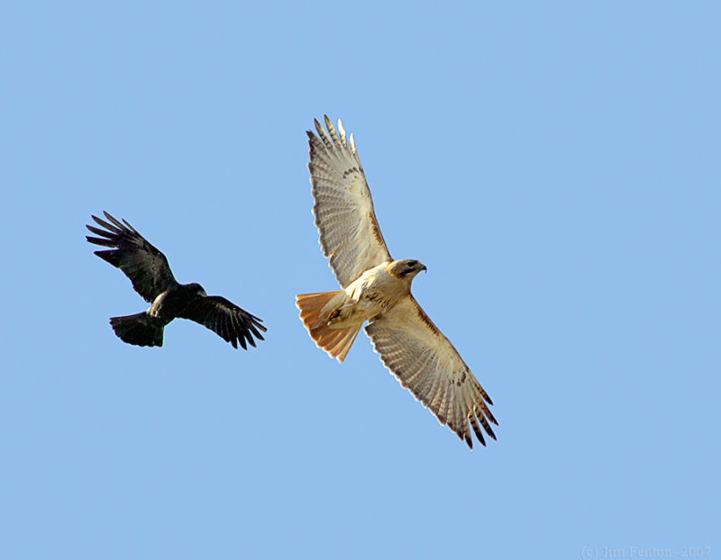 _JF01711 Red Tail and Crow.jpg