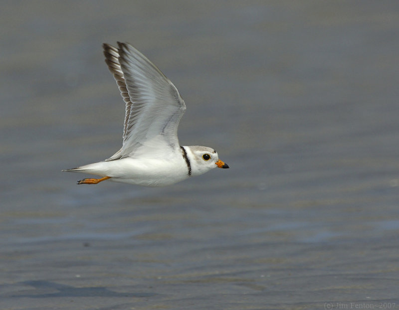 NAW4667 Piping Plover in Flight.