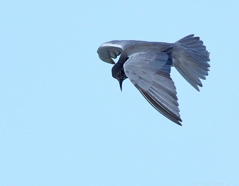 _JFF7697 Black Tern Flight Looking Down.jpg