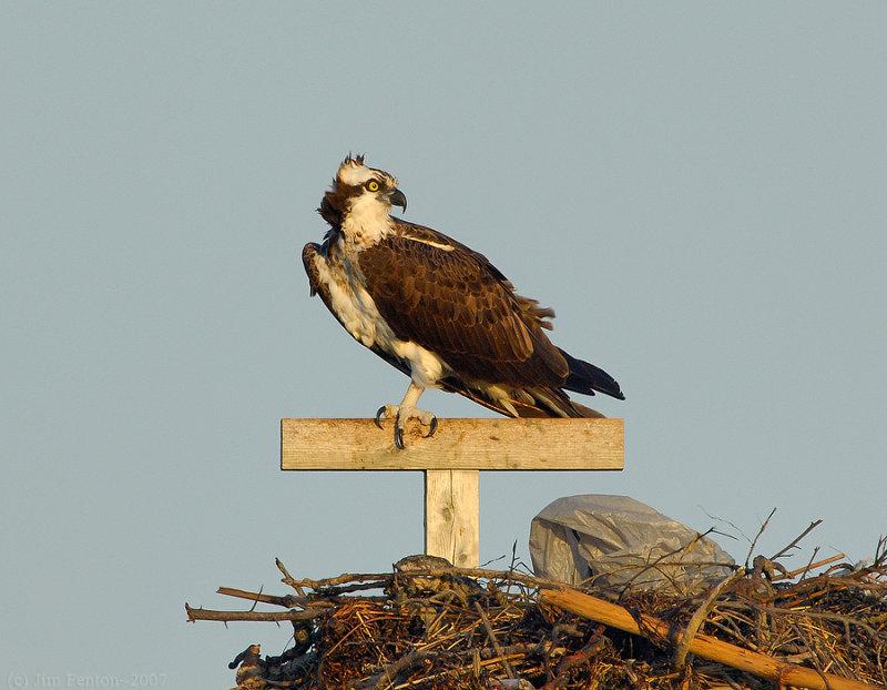 _JFF8508 Osprey Female on Nest.jpg