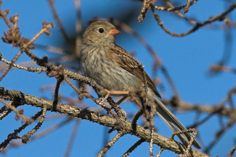 Field Sparrow - juvenile