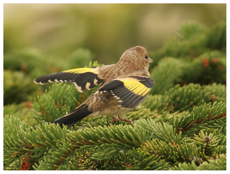 Goldfinch (juv.)