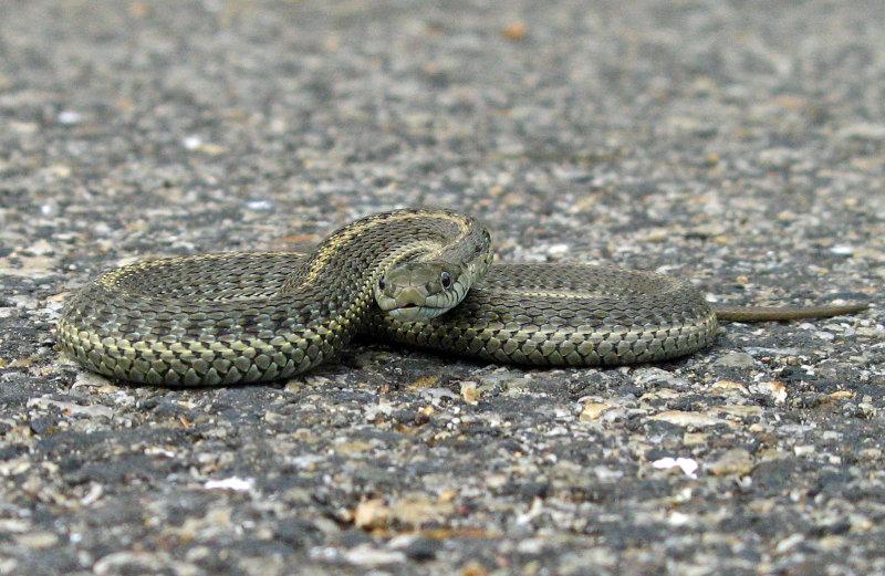 Gardner Snake Strikes Fatal Blow !!