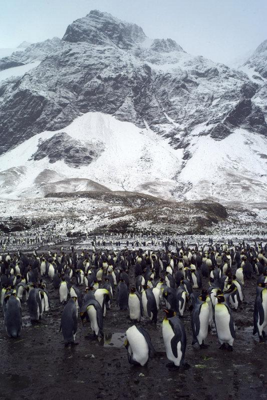 Fortuna Bay King Penguin Colony