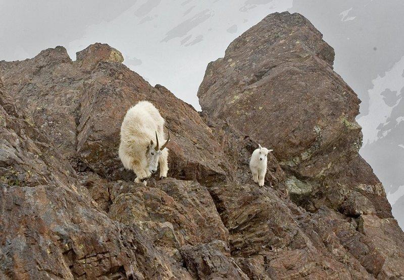 Mountain goat, Mt. Ellinor)