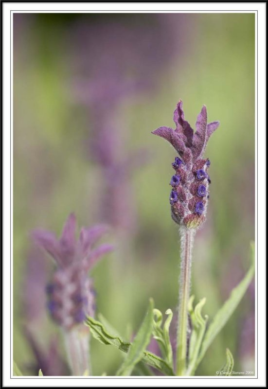 Fading Lavenders!