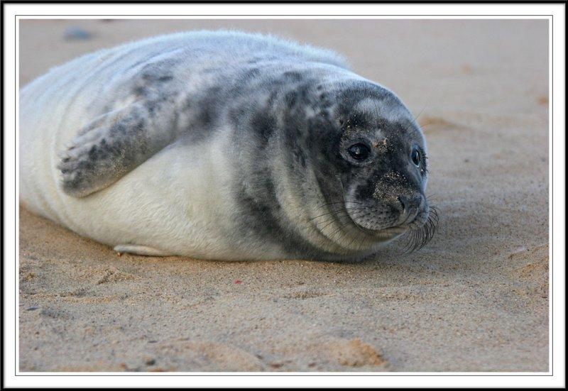Grey Seal Pup!