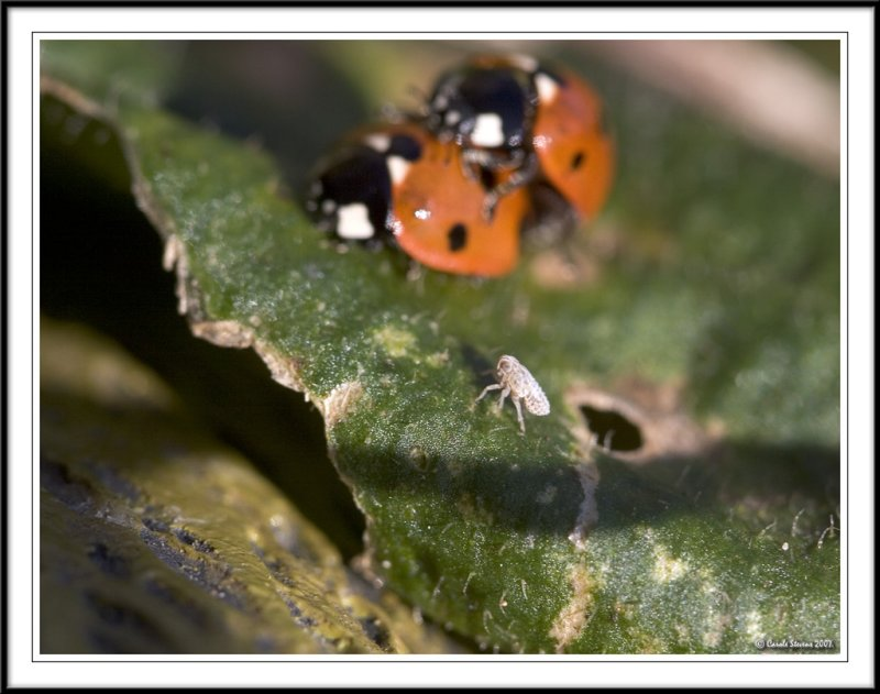 Seven spot ladybird - Coccinella 7-punctata watched by leaf bug.