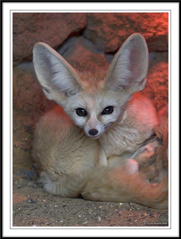 Fenwick fox !