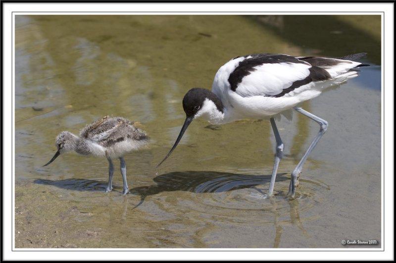 Avocet mum and chick feeding!