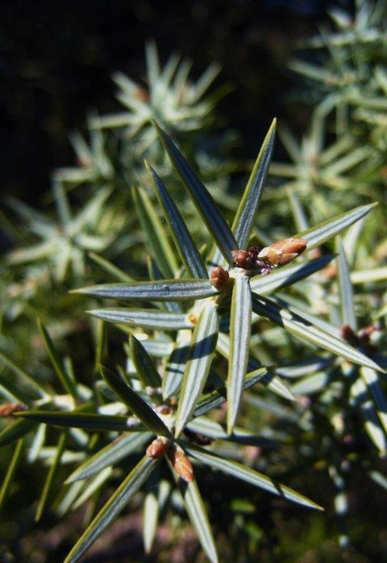 genévrier oxycèdre cade <br><i>Juniperus oxycedrus</i>