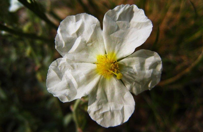 églantier (rosier) des champs <br><i>Rosa arvensis</i>