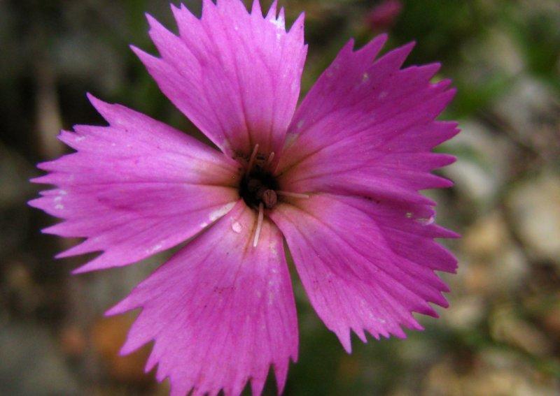 oeillet des bois <br><i>Dianthus sylvestris</i>