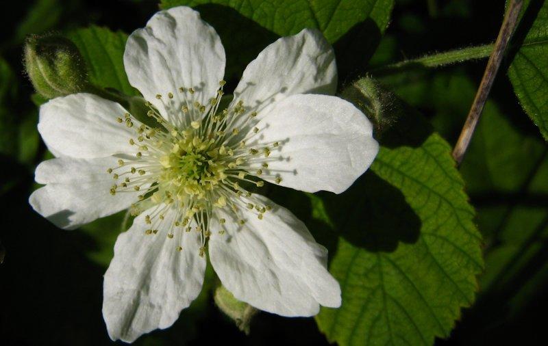 ronce <br><i>Rubus fruticosus</i>