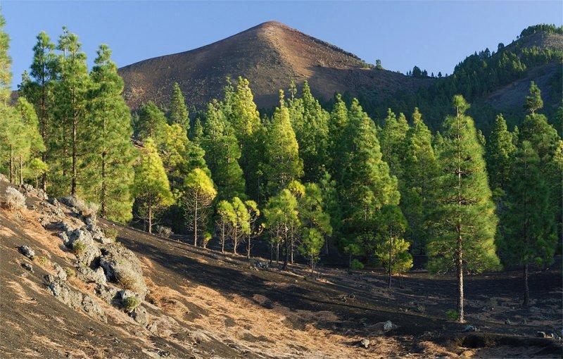 Cumbre Vieja Pine Forest